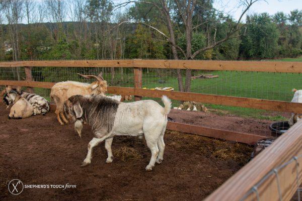 Goat Meat Farm Buy Goat Near Philadelphia