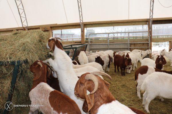 Whole Goat Meat Farm