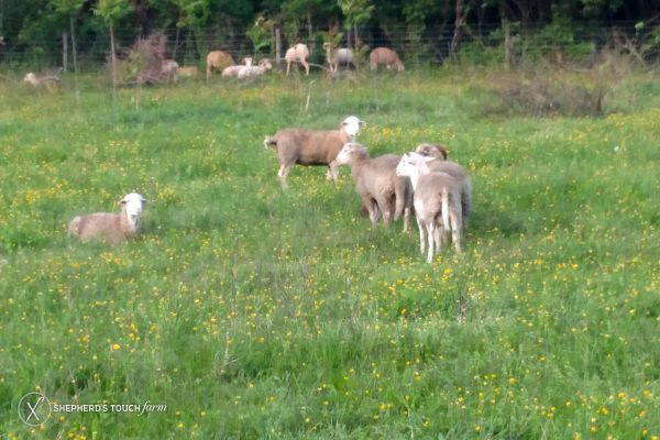 Whole Lamb Meat For Sale Near Lancaster Pa