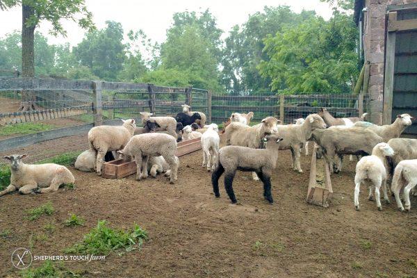 Lamb Farm Meat Mutton Mohnton Pa