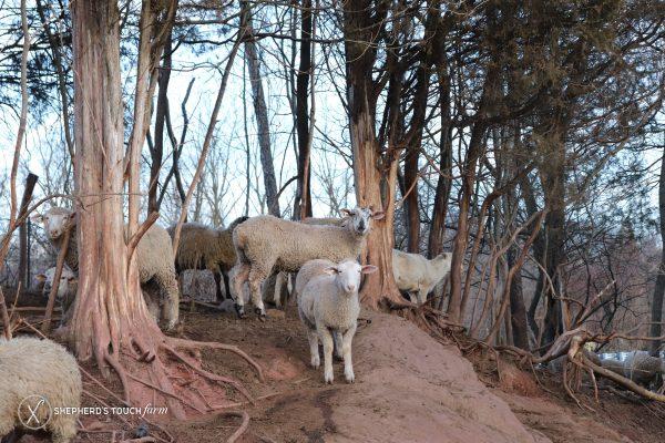 Lamb Meat Farm Near Philadelphia Pa